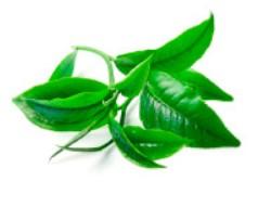 Extrakt zo zeleného čaju Matcha