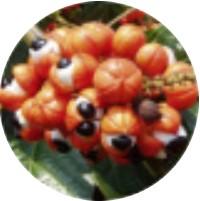 Extrakt zo semien guarany